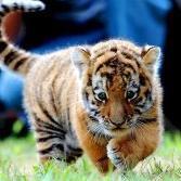 Tigre-nok